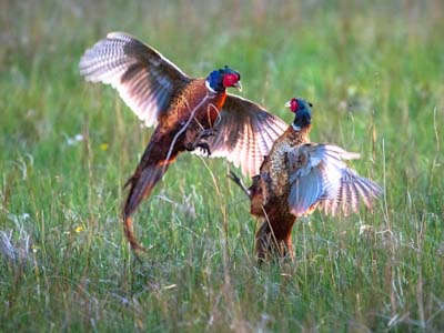 Pair of male coomon pheasants on Islay